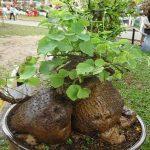 Hình ảnh cây bình vôi