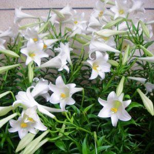 cây hoa bách hợp