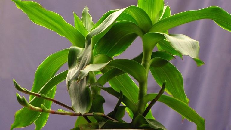 Kết quả hình ảnh cho bài thuốc chữa viêm họng cây lược vàng