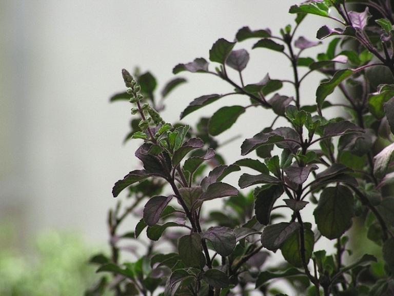 Hương nhu tía