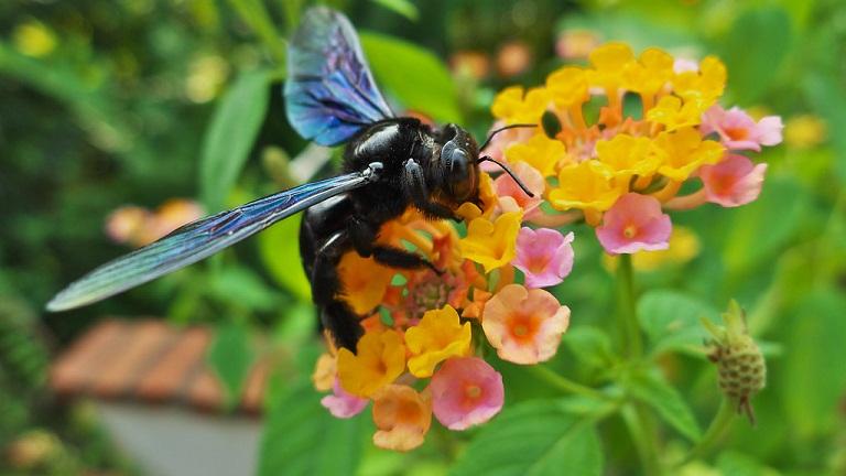 Ong đang lấy phấn hoa về làm mật