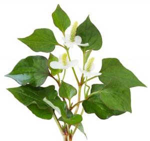 Houttuynia cordata fish herb