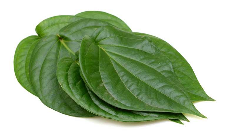 Tận dụng tinh dầu của lá trầu không để trị bệnh chàm