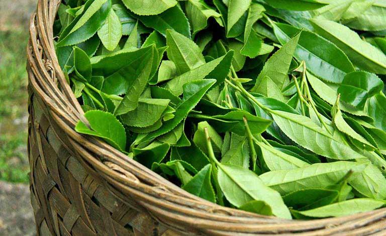 Chữa mẩn ngứa khi trời nóng bằng lá trà xanh