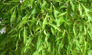 chữa viêm da cơ địa bằng lá đinh lăng