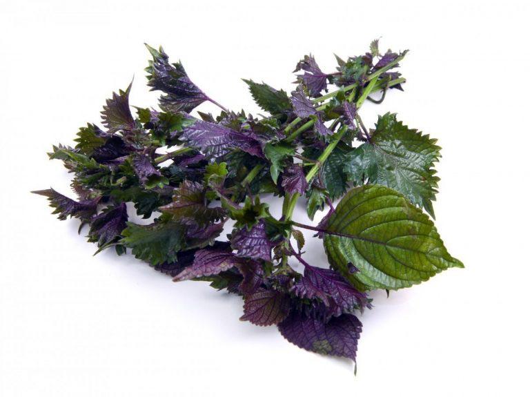 Lá tía tô - một trong những loại thảo dược được dùng để tắm trị viêm da cơ địa phổ biến