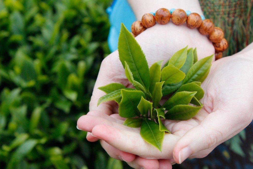 Tắm lá trà xanh chữa viêm da cơ địa