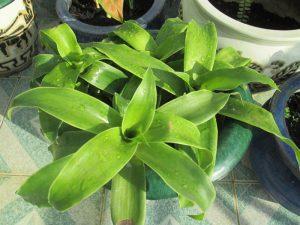 chữa bệnh dạ dày bằng lá cây lược vàng