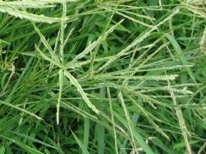 chữa nấm da đầu bằng cỏ mần trầu