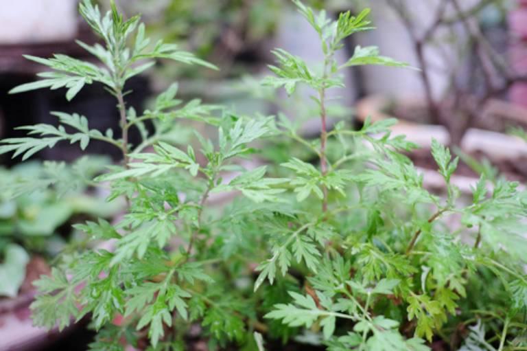 Ngải cứu là cây thuốc Nam phổ biến được sử dụng để chữa viêm da dị ứng.