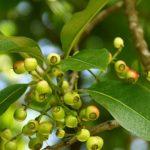 Không chỉ được sử dụng để giải khát, lá vối còn hỗ trợ điều trị viêm đại tràng co thắt.