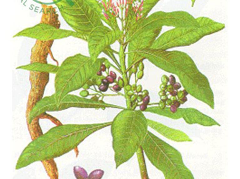 Rễ cây Ba Gạc được sử dụng điều chế thuốc