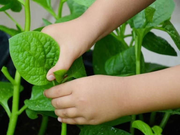 Có nhiều cách sử dụng rau mồng tơi để chữa táo bón cho trẻ
