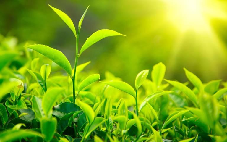 Lá trà xanh được khuyến khích sử dụng để trị rôm sảy cho bé
