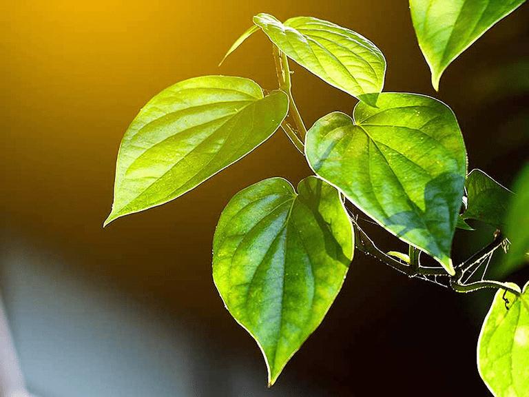 Chỉ dùng lá trầu không như một phương pháp hỗ trợ cho việc điều trị bệnh trĩ