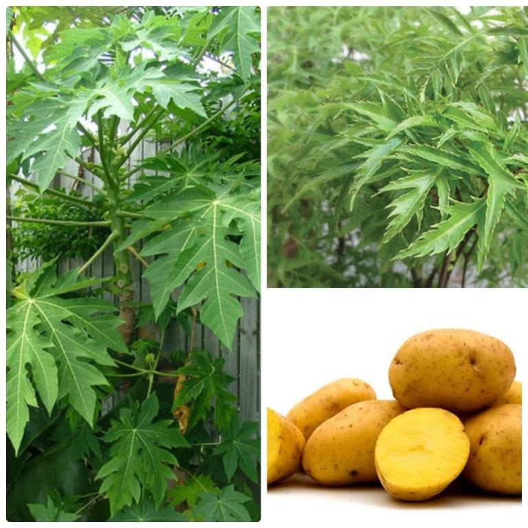 chữa viêm da cơ địa bằng lá đu đủ, đinh lăng và khoai tây