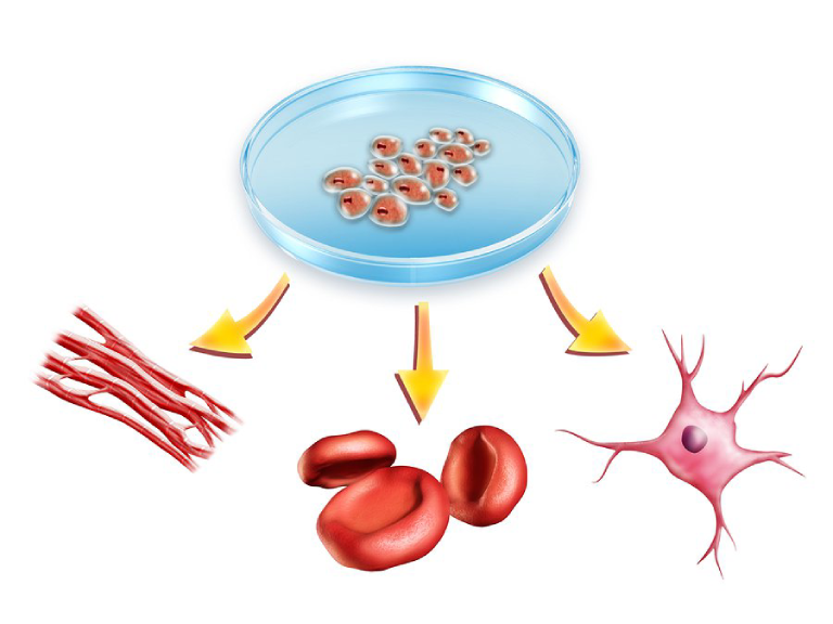 Tế bào gốc có thể phân hóa thành nhiều tế bào chuyên biệt