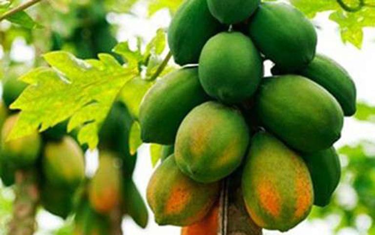 Hạt của quả đu đủ chín cây có công dụng điều trị bệnh tốt nhất