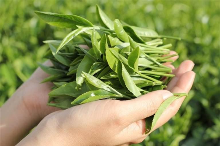 Trà xanh có chứa hợp chất epigallocatechin-3-gallate có công dụng làm suy yếu sự phát triển của nấm Candida