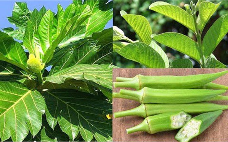 Uống nước lá sa kê, đậu bắp và lá ổi non để điều trị bệnh gút