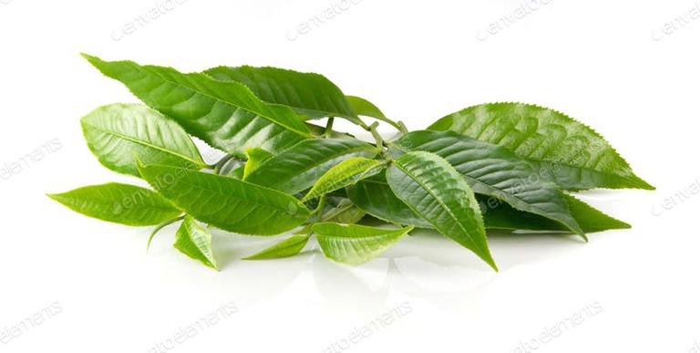 Lá trà xanh có tác dụng diệt khuẩn, giảm sưng viêm