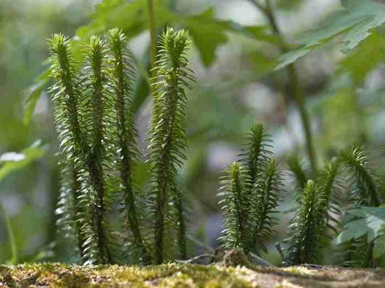 Tác dụng của cây thông đất