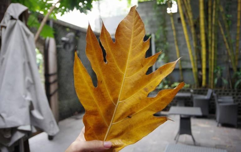 Chỉ dùng lá sa kê rụng không dùng lá xanh