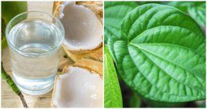 Cách chữa bệnh gut bằng lá trầu và nước dừa mang đến những dấu hiệu tích cực cho người bệnh