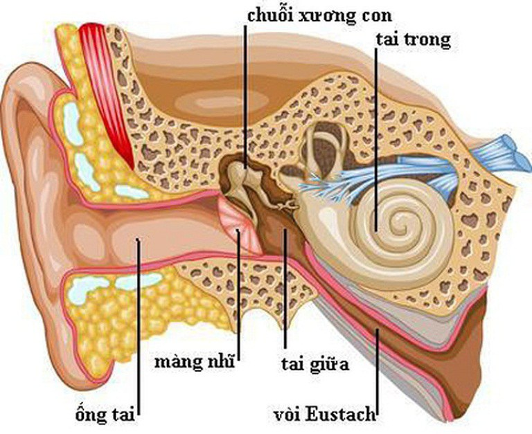 cách chữa viêm tai giữa bằng rau diếp cá