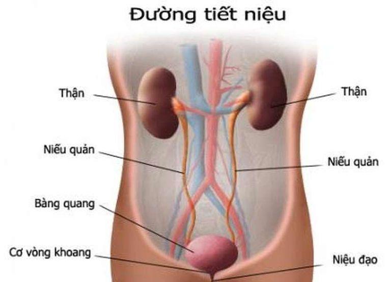 Cấu tạo của hệ tiết niệu trong cơ thể con người