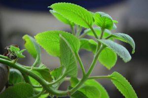 chữa viêm amidan bằng cây thuốc nam