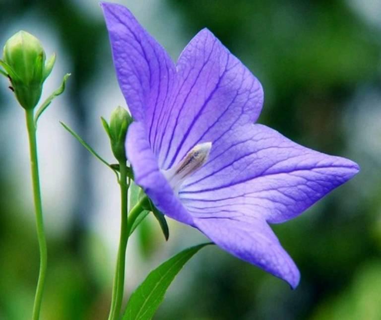 Cát cánh vị cay, đắng, tính ôn được sử dụng để chữa các chứng ho đờm, viêm họng sưng đau