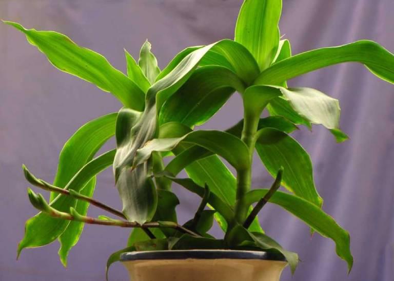 Cây lược vàng là một trong những cây thuốc nam chữa viêm amidan hiệu quả