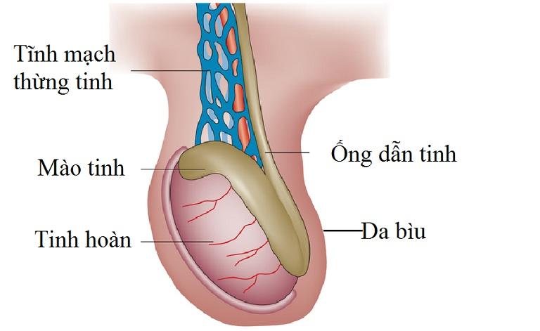 Giãn tĩnh mạch thừng tinh là bệnh nam khoa thường gặp