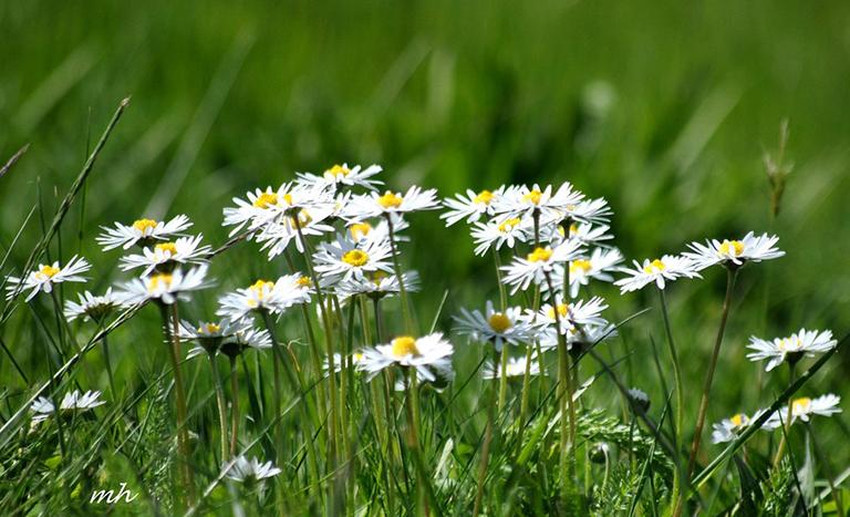 Hoa cúc dại thường được sử dụng làm trà có tác dụng điều trị bệnh rất tốt