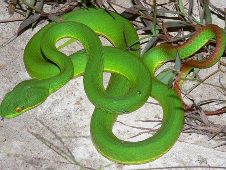 rắn lục đuôi đỏ chữa viêm xoang