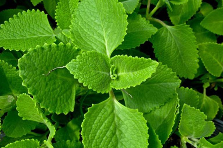 Húng tần là loại thảo dược có tác dụng điều trị viêm amidan rất hiệu quả