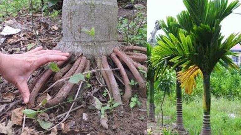 Rễ cau có chứa hoạt chất ancaloit có tác dụng hỗ trợ điều trị chứng xuất tinh sớm ở nam giới