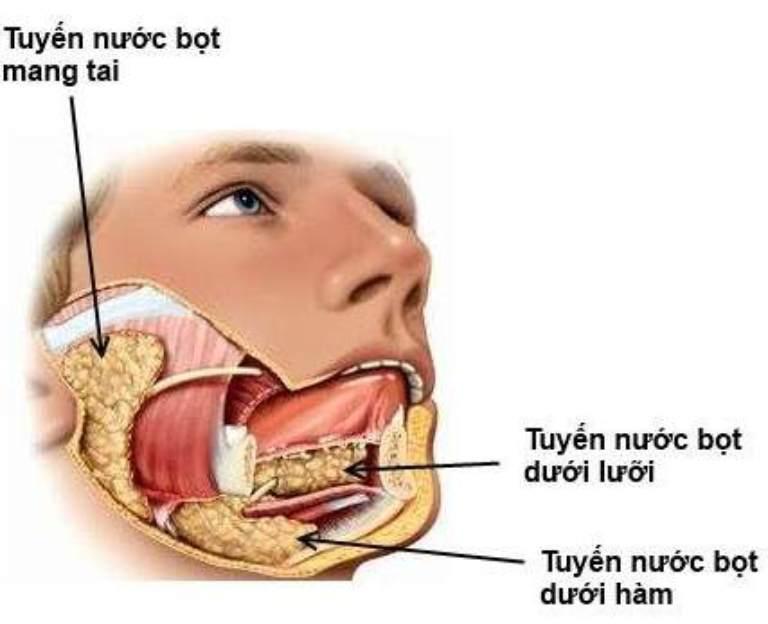 Vị trí của tuyến nước bọt mang tai