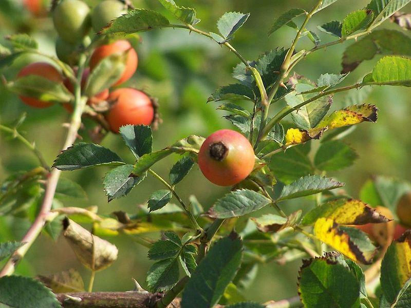 Lá và quả cây tầm xuân
