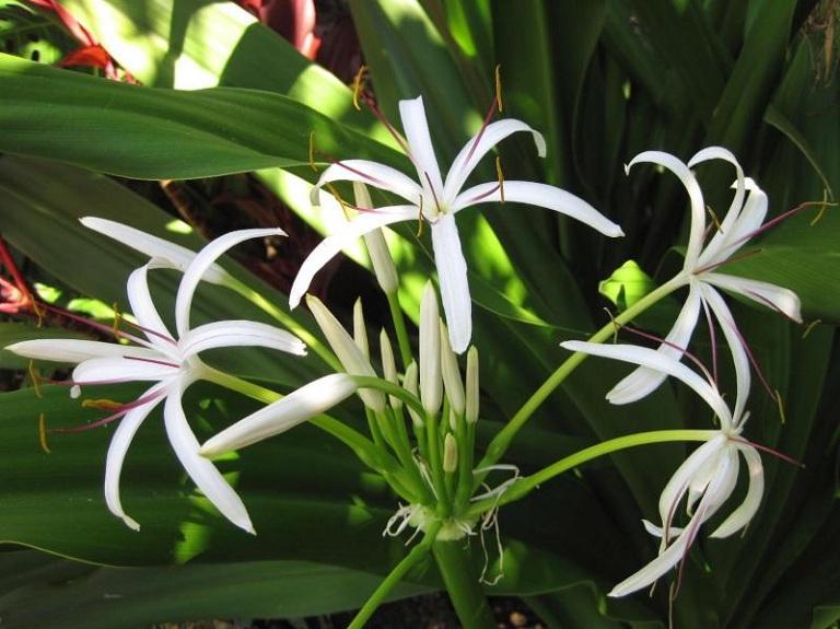 Chữa viêm tuyến tiền liệt tại nhà bằng cây náng hoa trắng
