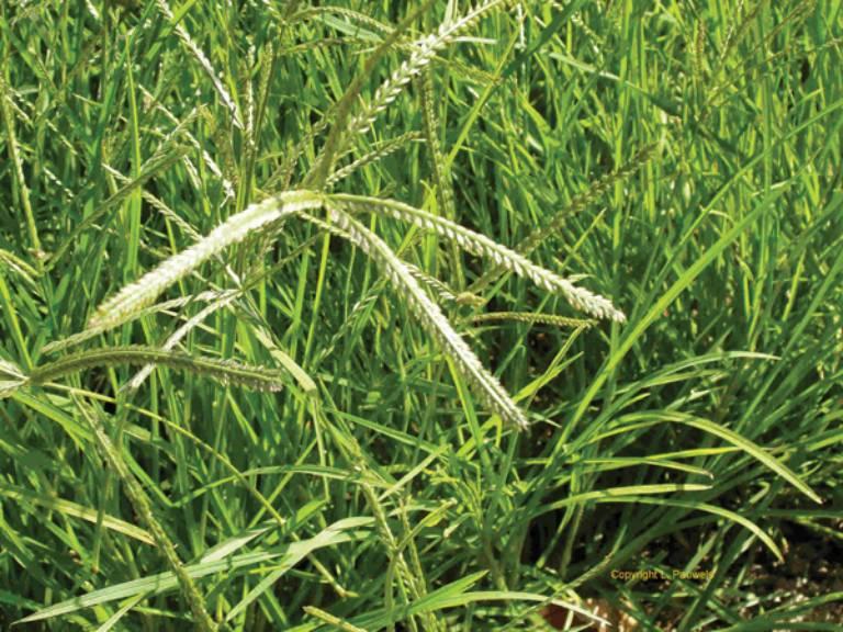 Kích thích mọc tóc bằng cỏ mần trầu là một trong những phương pháp được nhiều người áp dụng