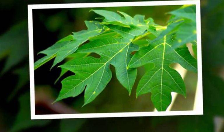Sử dụng lá đu đủ chữa đau dạ dày là một trong những phương pháp được nhiều người áp dụng