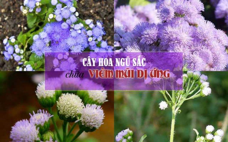 Hoa ngũ sắc còn có tên gọi khác là hoa cứt lợn, hoa ngũ vị