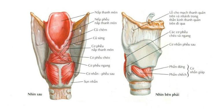 Thanh quản được cấu tạo từ các cơ, sụn và các dây chằng.