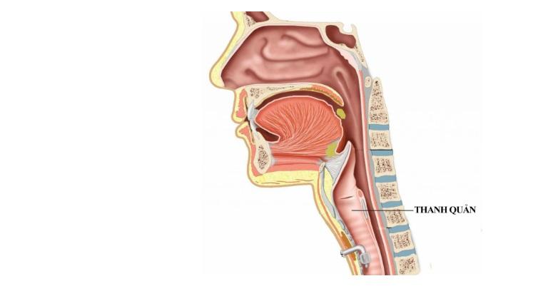Thanh quản là bộ phận mang nhiệm vụ tạo ra âm thanh, dẫn truyền hơi thở.