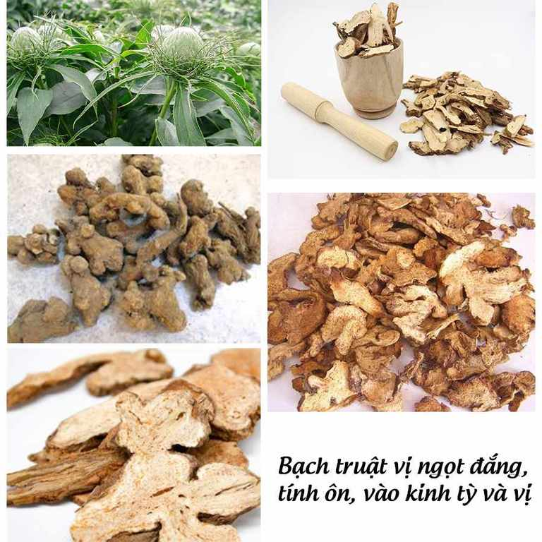 Bạch truật là vị thuốc chiếm tỷ trọng nhiều nhất trong thành phần của Đại Tràng Khang