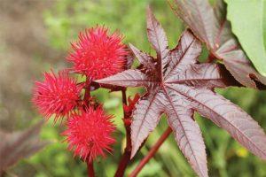 Bộ phận thường được dùng để chữa bệnh trĩ của cây thầu dầu tía là hạt và lá