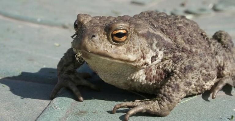 Cóc thường sống trên cạn và ưa môi trường ẩm ướt. Đây là con vật quen thuộc ở vùng nông thôn