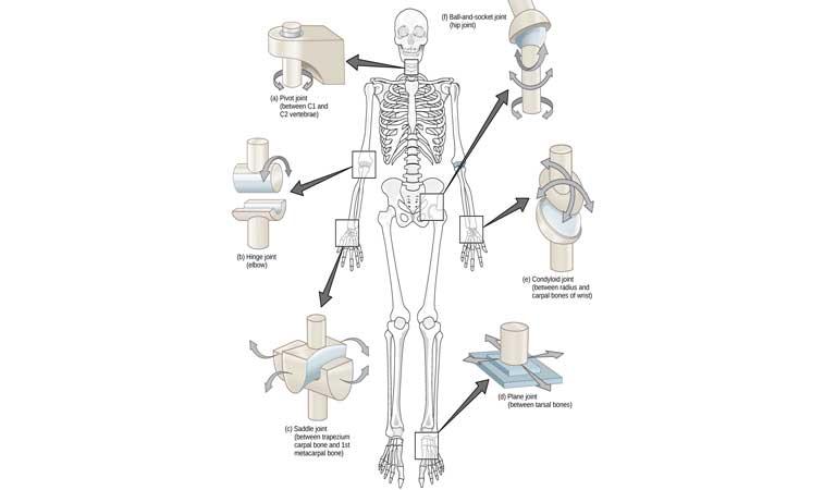 khớp xương là gì